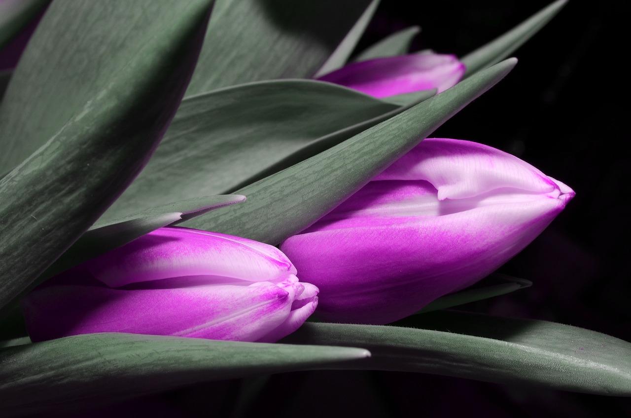 tulip-123794_1280